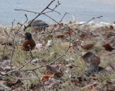 robins under the pear