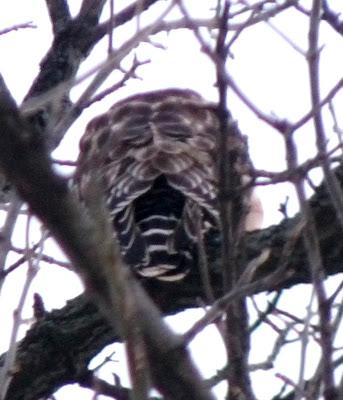 strikingly patterned back of red-shouldered hawk