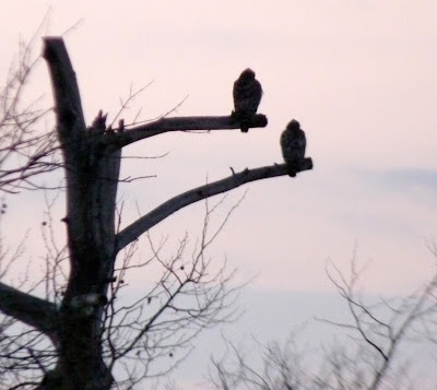 pair of red-shouldered hawks at dawn