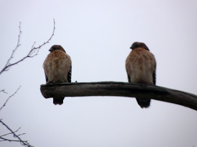 pair of red-shouldered hawkz