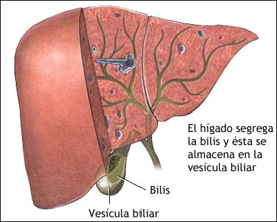 El sistema digestivo anexas for En k parte del cuerpo esta el higado