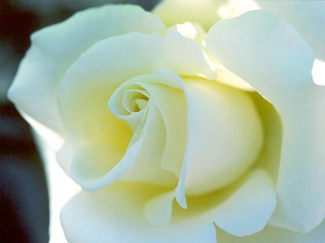white rose wallpaper. white rose flowers. rose