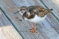 TURNSTONE
