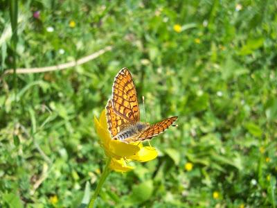 Papillon damier de la succise (Euphydryas aurinia) sur fleur de renoncule bulbeuse