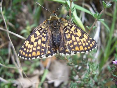 Papillon : Mélitée du plantain (melitaea cinxia)