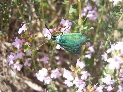 Zygène la turquoise (Adscita statices)