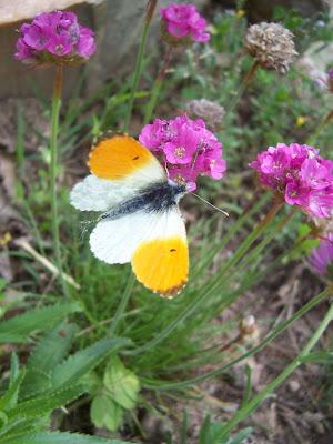 Papillon aurore mâle
