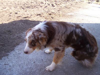 Un des chiens de la ferme