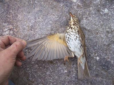 Oiseau : grive musicienne