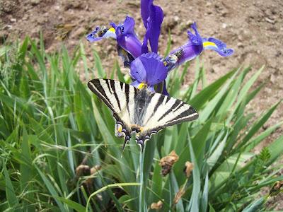 Papillon Flambé (Iphiclides podalirius)