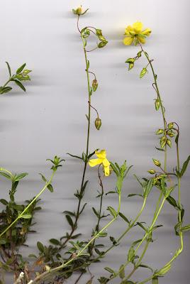Fleurs d'Hélianthème
