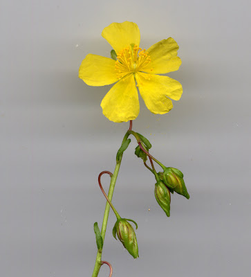 Fleur d'Hélianthème