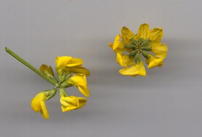 Fleurs d'Hyppocrépis