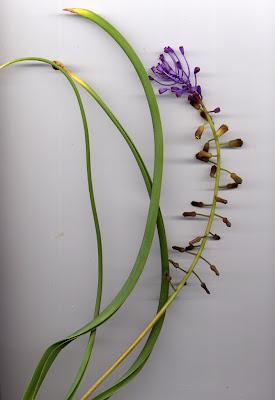 Fleur de Muscari à toupet