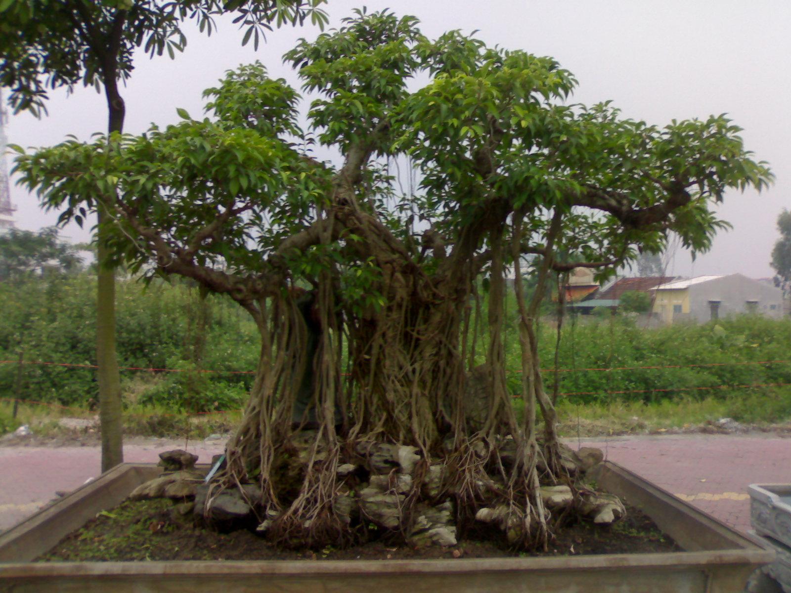 Mãn nhãn Chiêm ngưỡng vườn cây cảnh tiền tỷ