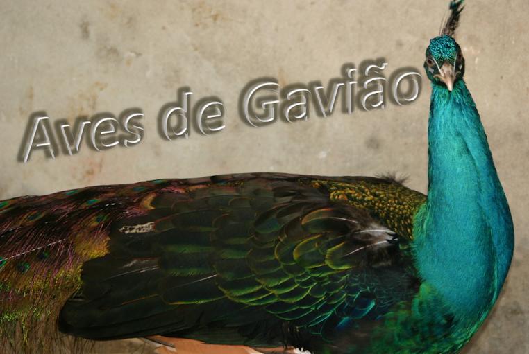 Aves de Gavião