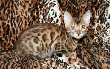 Bengal Cats - Endangered Animals - Extinct Animals