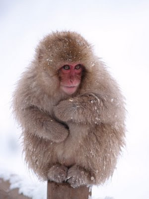 Snow Macaque - Endangered Animals - Extinct Animals