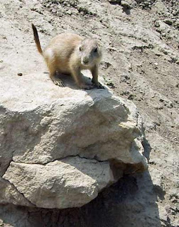 Prairie dogs are always fun to watch.