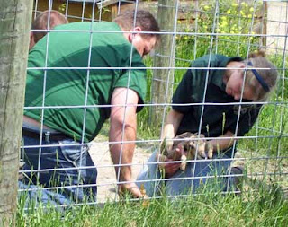 Zoo workers assist in freeing the horns from the fence.
