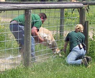 Zoo workers come to this antelope's aid in freeing it from the fence.