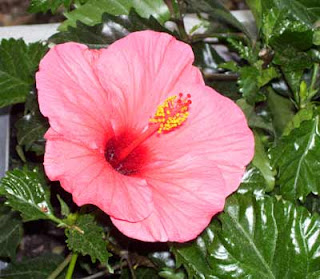 I chose hibiscus for two of the post in the front of the house.l