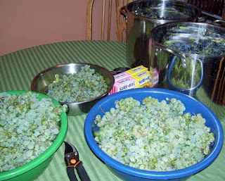 So far we've harvested five containers full of grapes from the backyard.