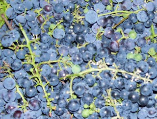 We've got purple Concord grapes that have turned sweet to the taste with ripeness.