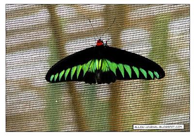 Rajah Brooke's Butterfly