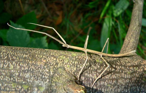 Insecto palo reproduccion asexual en