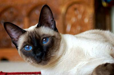 Topic des chats - Page 31 Siamese-cat