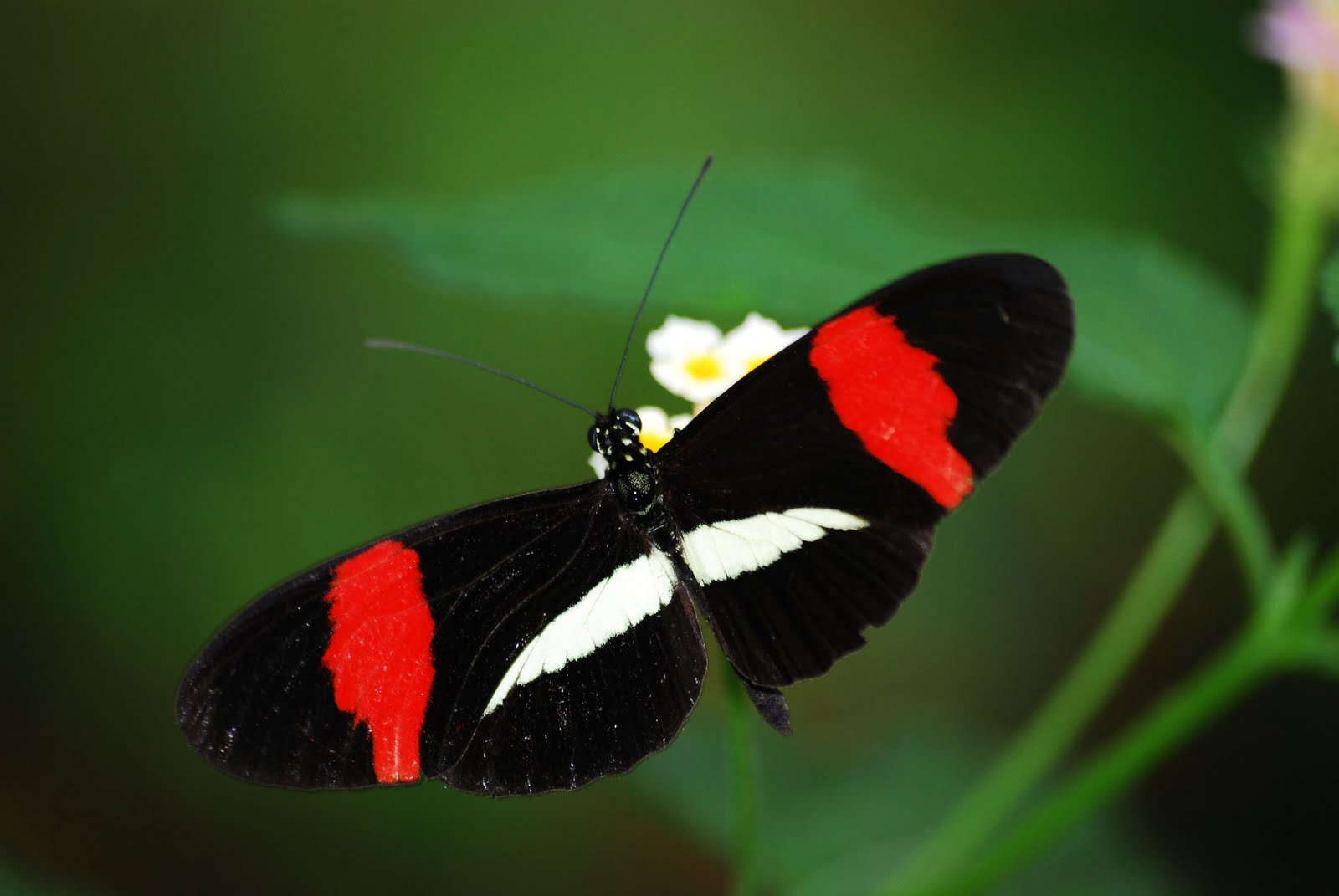 Best Heliconius Melpomene Wallpapers
