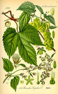 hops illustration from flora von deutschland