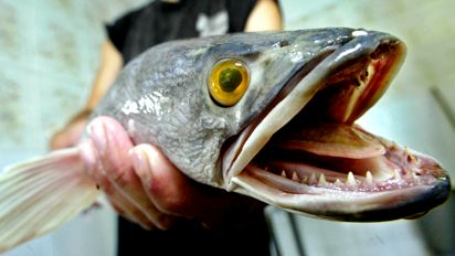 All things fish snakeheads here to stay for Maryland freshwater fish