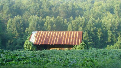 Kudzu vines taking over farmhouse