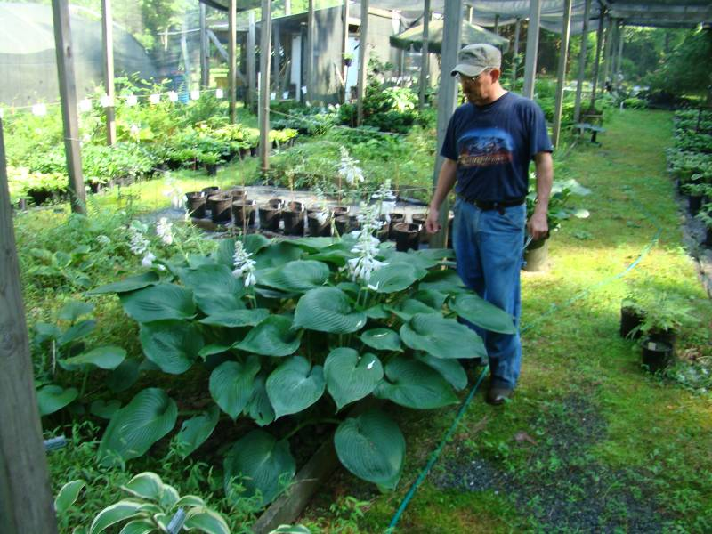 dl hosta farm pictures. Black Bedroom Furniture Sets. Home Design Ideas