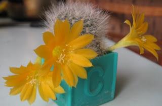 цветёт кактус ребуция