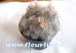 цветущий кактус маммилярия