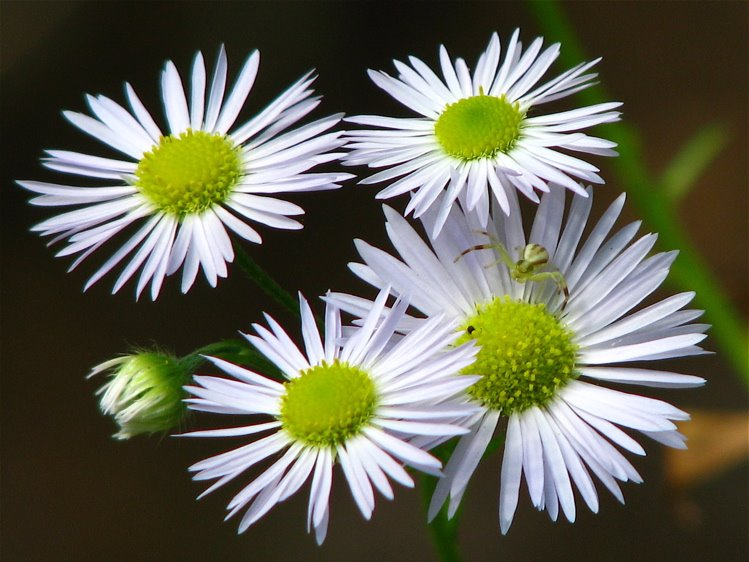 [white+asters+with+spider+750]