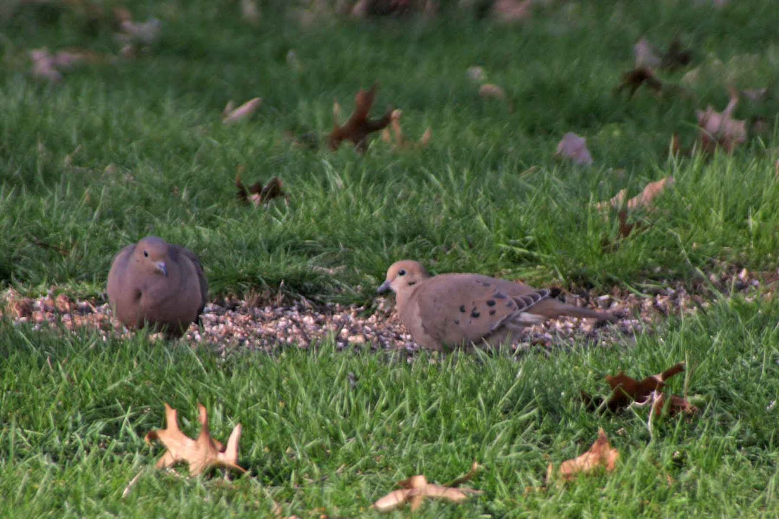 doves are one of the most prolific backyard birds