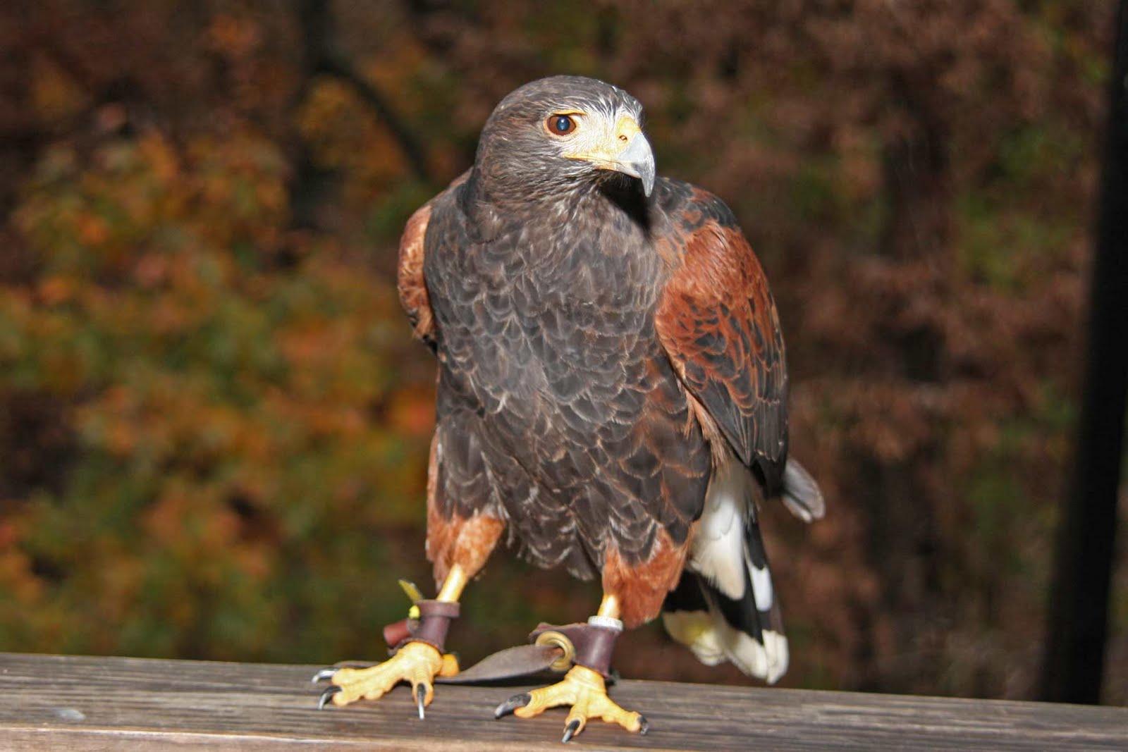 Harris Hawk Stacking Bird Www Topsimages Com