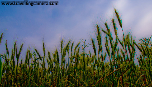 Weat fields @ Hamirpur, Himachal Pradesh, INDIA: This photographs was clicked during my visit to Himachal during Baisakhi holidays...