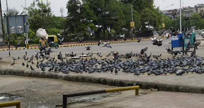 Pigeons near inner circle of Cannaught Place