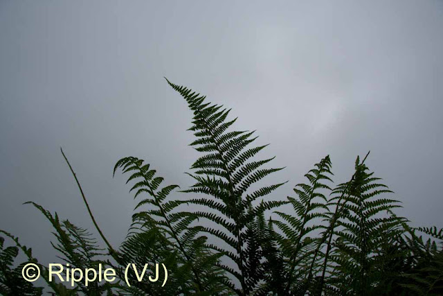 SHRIKHAND MAHADEV: Some ferns against a backdrop of mist and clouds on way to Shrikhand Mahadev (Near bheem dwari)