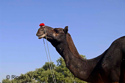 Posted by Ripple (VJ) :  Pushkar Camel Fair 2008 : Black Camel @ Pushkar Camel fair 2008