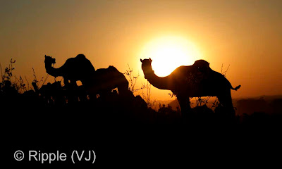 Posted by Ripple (VJ) :  Pushkar Camel Fair 2008 :Beautiful view of 2 camels against the setting sun : Camels in front of Sun in the evening @ Pushkar Camel fair 2008