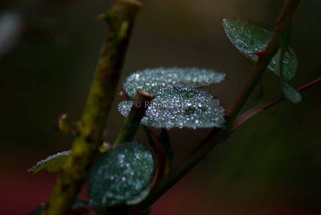 Posted by Ripple (VJ) : Corbett National Park : Dew-drops on Rose leaves...