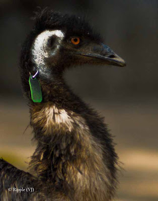 Posted by Ripple (VJ) : Delhi Zoo Revisited : An emu with a tracking device (or so I assume)