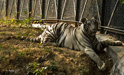 Posted by Ripple (VJ) : Delhi Zoo Revisited : Resting My Tired Paws - White Tiger