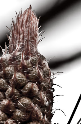 Posted by Ripple (VJ) : Ripple Photography, Frozen Moments, Photographer, ripple4photography, Photo Journey, How to shoot, Ripple (VJ), VJ Photography, :Pine Cone in its early stages : A cone  is an organ on plants in the division Pinophyta that contains the reproductive structures. The familiar woody cone is the female cone, which produces seeds. The male cones, which produce pollen, are usually herbaceous and much less conspicuous even at full maturity. The name